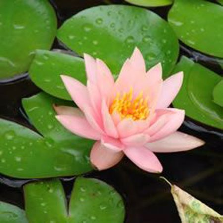 Picture for category Hardy Water Lilies