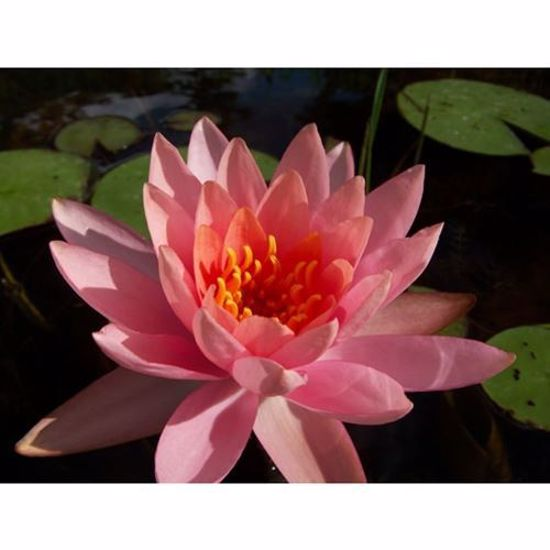 Colorado Water Lily